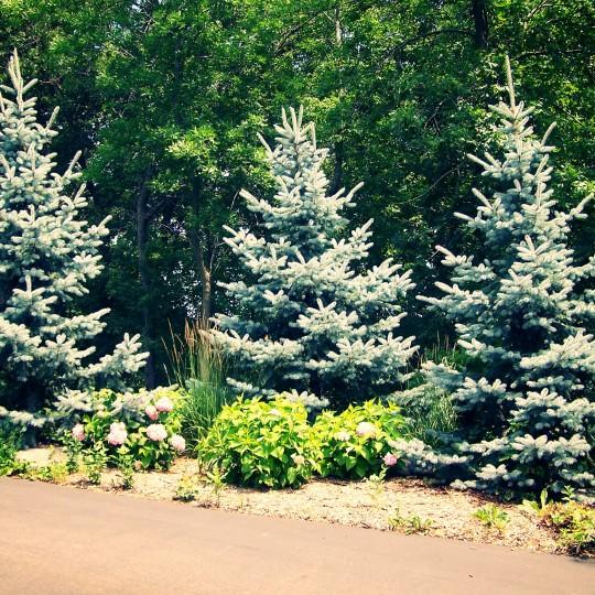 screen-screening-trees-hoopsii-spruce-lakeville-mn